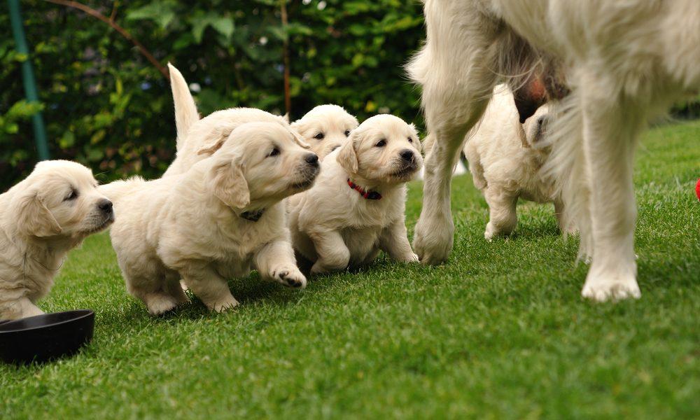 Artificial pet grass provides a soft cushion for North Carolina puppies