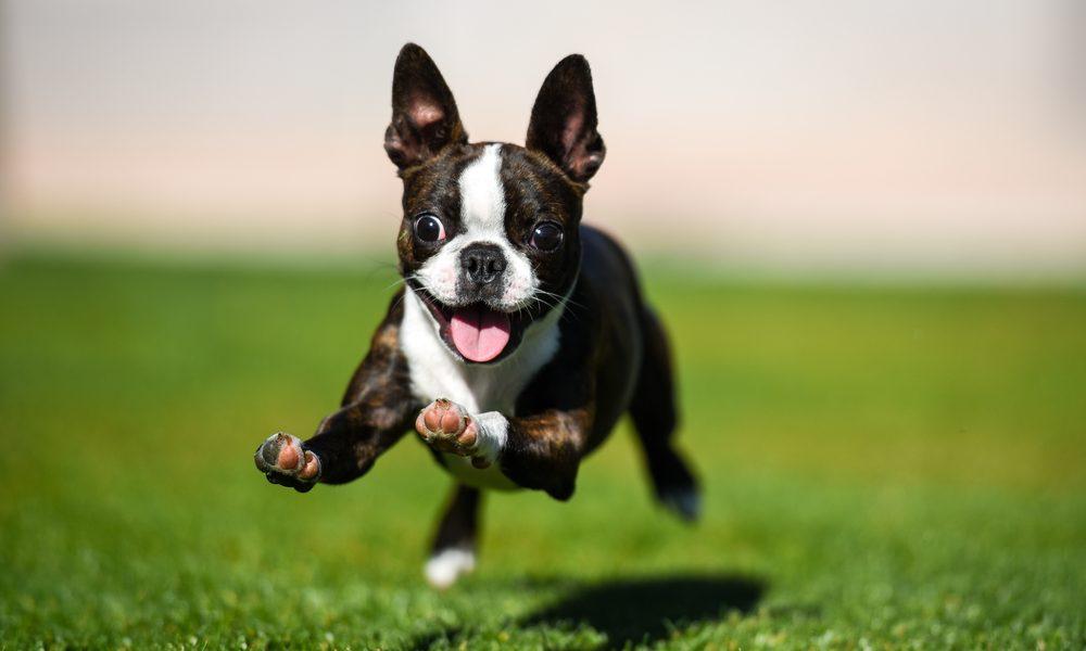 Boston Terrier running through artificial grass yard