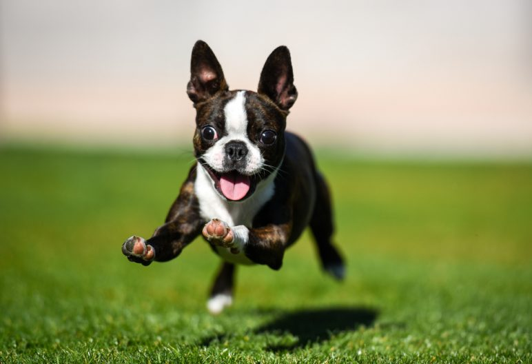 Boston Terrier running through artificial grass yard