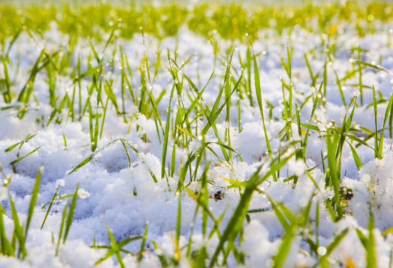 Synthetic grass with a light dusting of snow