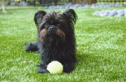 Close up of a dog laying on synthetic grass with a tennis ball