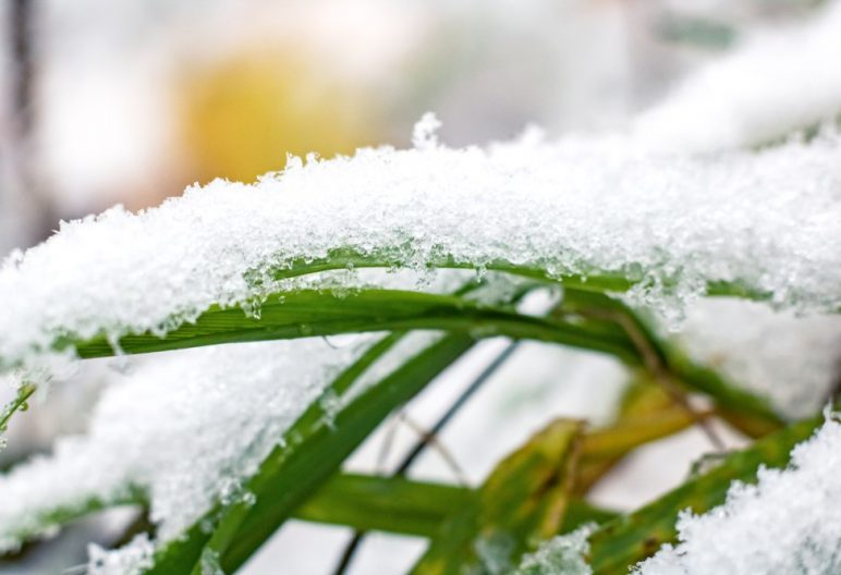 Close up of snow on blades of grass.